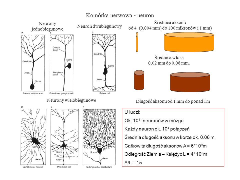 Komórka nerwowa - neuron Średnica aksonu od 4 (0,004 mm) do 100 mikronów (.1 mm) Średnica włosa 0,02 mm do 0,08 mm.