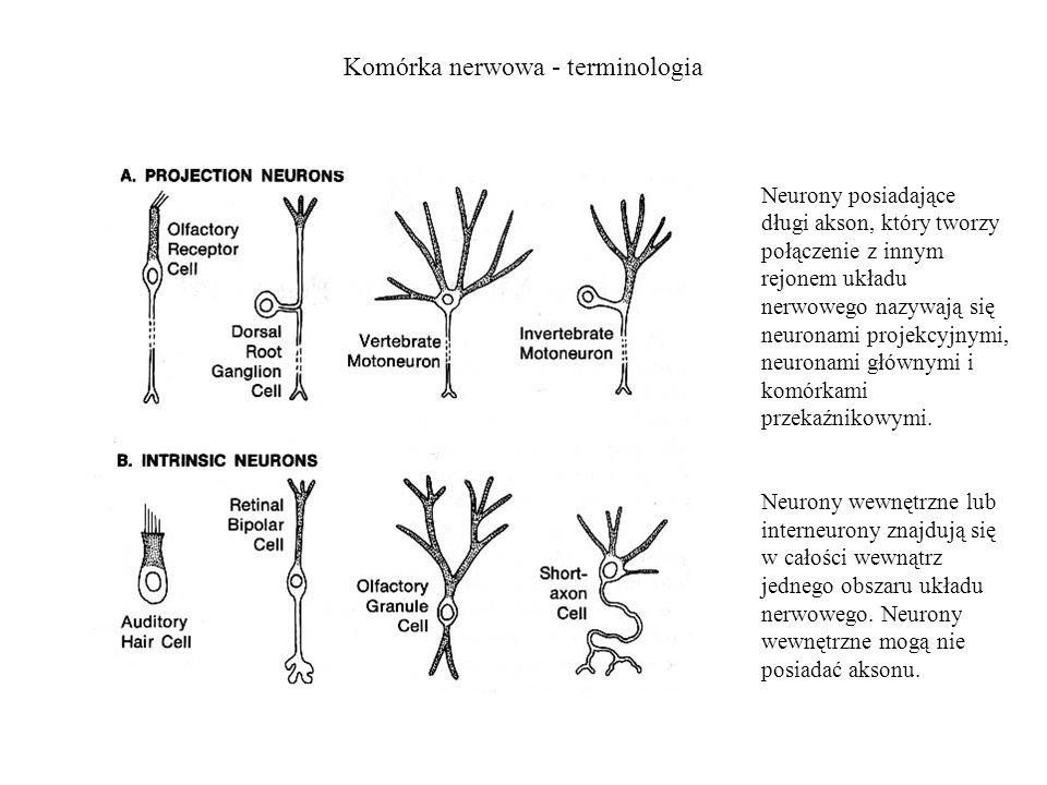 Komórka nerwowa - terminologia Neurony posiadające długi akson, który tworzy połączenie z innym rejonem układu nerwowego nazywają się neuronami projekcyjnymi, neuronami głównymi i komórkami przekaźnikowymi.