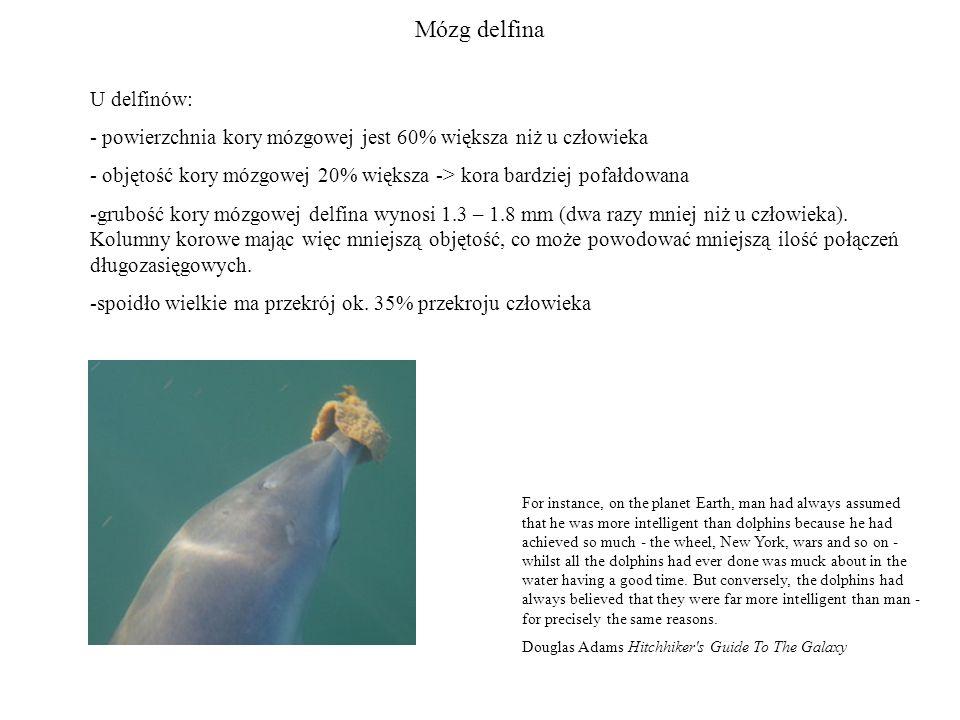 Mózg delfina U delfinów: - powierzchnia kory mózgowej jest 60% większa niż u człowieka - objętość kory mózgowej 20% większa -> kora bardziej pofałdowana -grubość kory mózgowej delfina wynosi 1.3 – 1.8 mm (dwa razy mniej niż u człowieka).