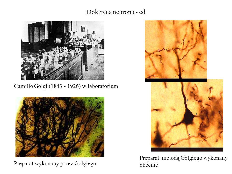 Doktryna neuronu - cd Camillo Golgi (1843 - 1926) w laboratorium Preparat wykonany przez Golgiego Preparat metodą Golgiego wykonany obecnie
