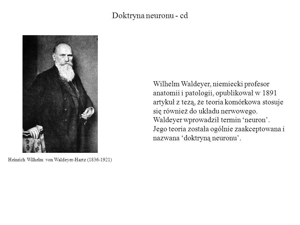 Doktryna neuronu - cd Wilhelm Waldeyer, niemiecki profesor anatomii i patologii, opublikował w 1891 artykuł z tezą, że teoria komórkowa stosuje się również do układu nerwowego.