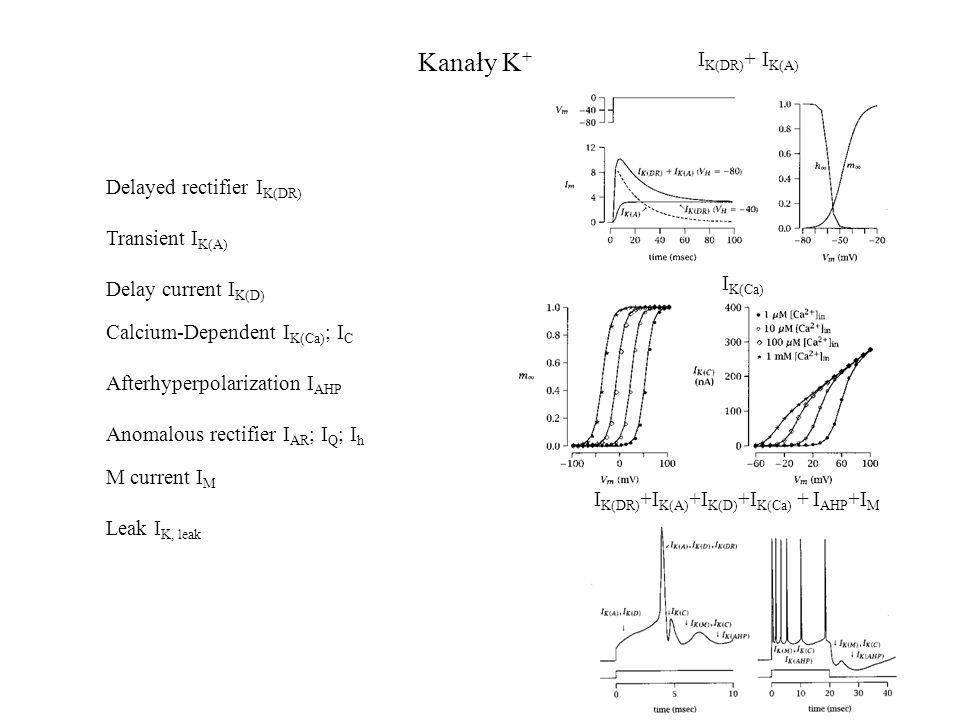 Kanały K + Delayed rectifier I K(DR) Transient I K(A) Delay current I K(D) Calcium-Dependent I K(Ca) ; I C Afterhyperpolarization I AHP Anomalous rect