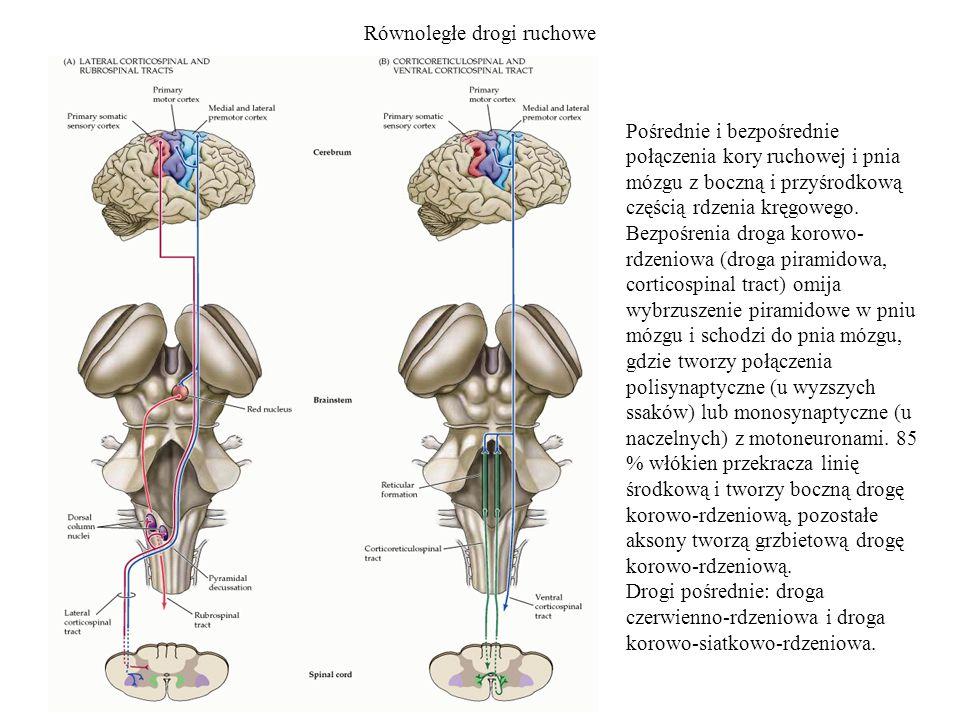 Równoległe drogi ruchowe Pośrednie i bezpośrednie połączenia kory ruchowej i pnia mózgu z boczną i przyśrodkową częścią rdzenia kręgowego. Bezpośrenia