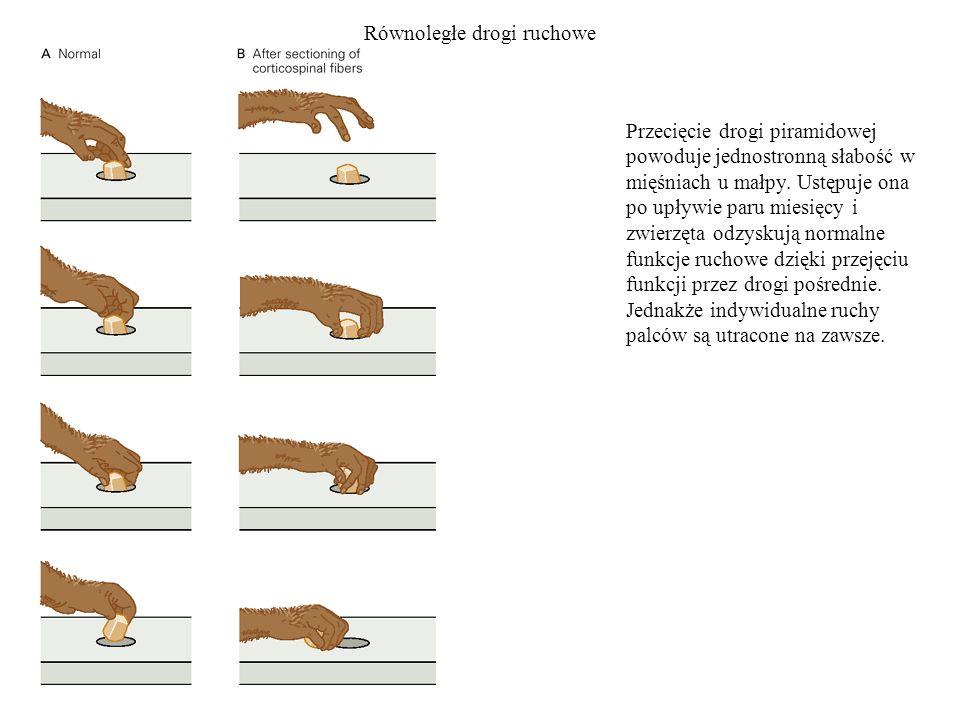 Równoległe drogi ruchowe Przecięcie drogi piramidowej powoduje jednostronną słabość w mięśniach u małpy. Ustępuje ona po upływie paru miesięcy i zwier
