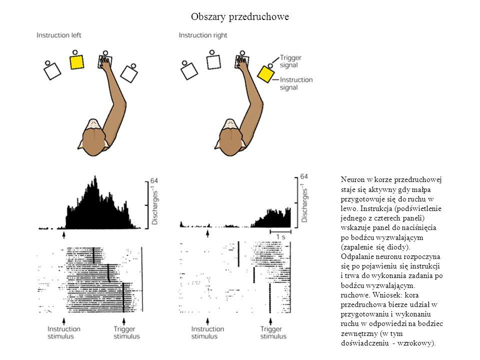 Obszary przedruchowe Neuron w korze przedruchowej staje się aktywny gdy małpa przygotowuje się do ruchu w lewo. Instrukcja (podświetlenie jednego z cz