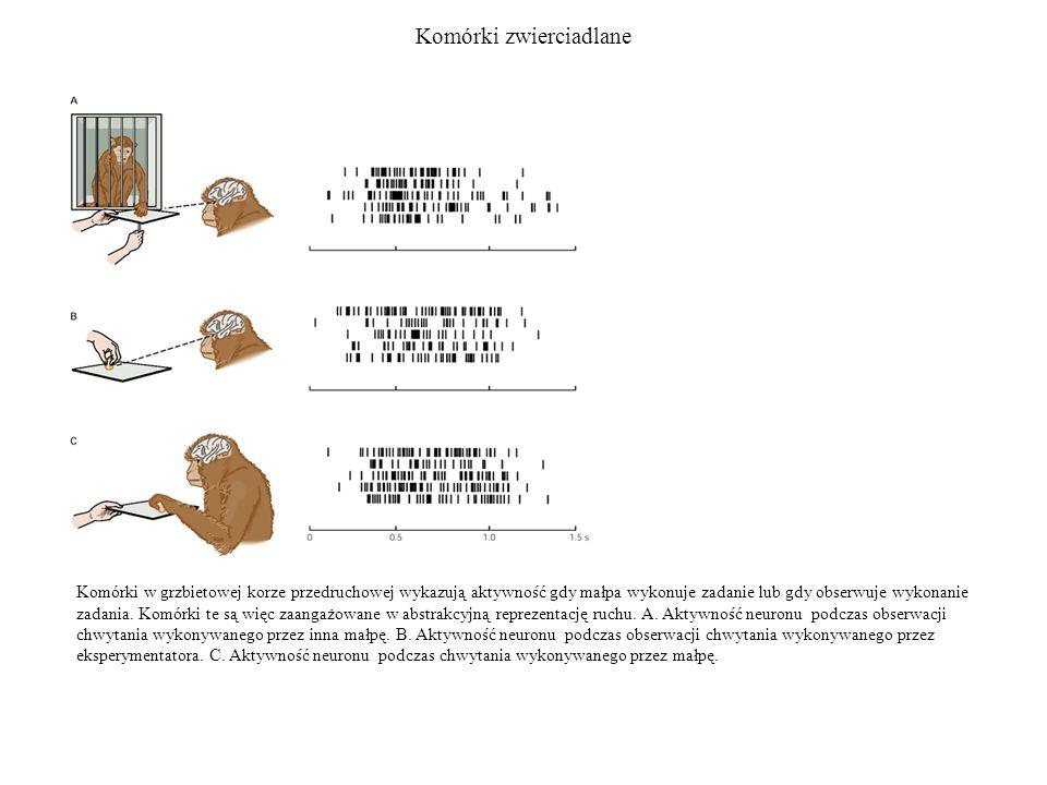 Komórki zwierciadlane Komórki w grzbietowej korze przedruchowej wykazują aktywność gdy małpa wykonuje zadanie lub gdy obserwuje wykonanie zadania. Kom