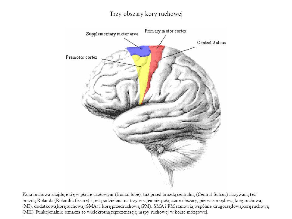 Trzy obszary kory ruchowej Kora ruchowa znajduje się w płacie czołowym (frontal lobe), tuż przed bruzdą centralną (Central Sulcus) nazywaną też bruzdą