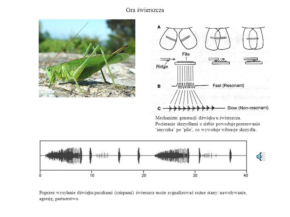 Gra świerszcza Mechanizm generacji dźwięku u świerszcza. Pocieranie skrzydłami o siebie powoduje przesuwanie smyczka po pile, co wywołuje wibracje skr