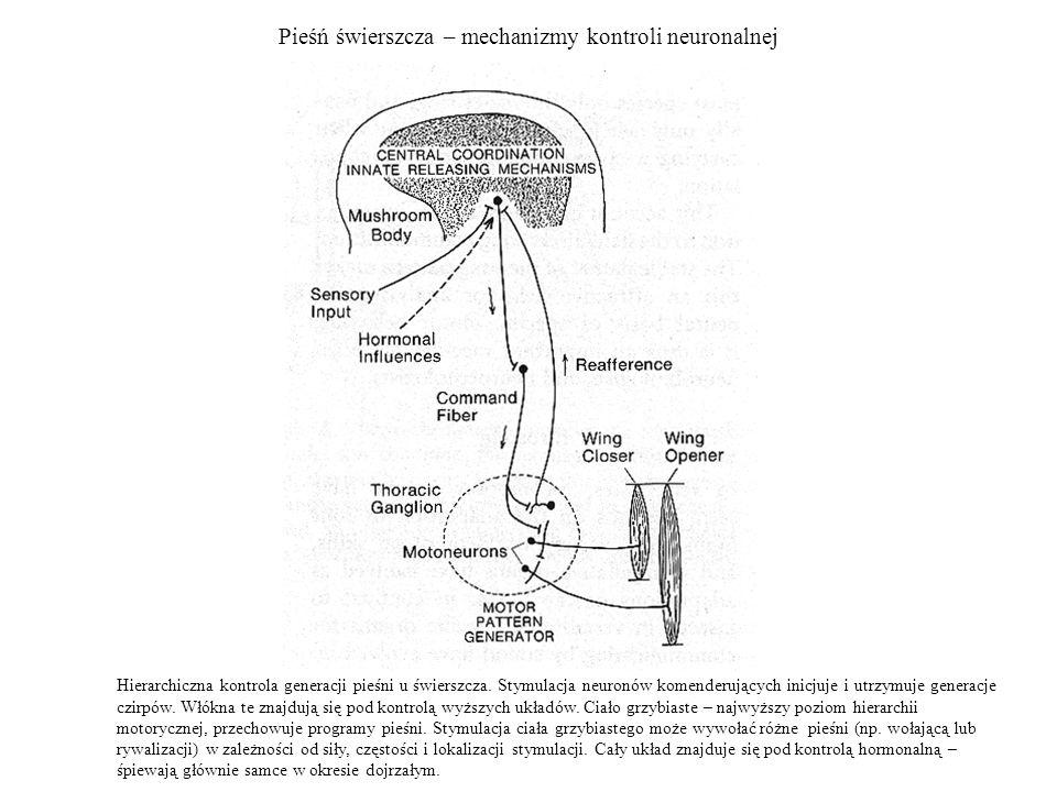 Pieśń świerszcza – mechanizmy kontroli neuronalnej Hierarchiczna kontrola generacji pieśni u świerszcza. Stymulacja neuronów komenderujących inicjuje