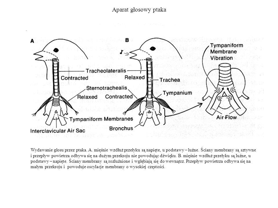 Aparat głosowy ptaka Wydawanie głosu przez ptaka. A. mięśnie wzdłuż przełyku są napięte, u podstawy – luźne. Ściany membrany są sztywne i przepływ pow