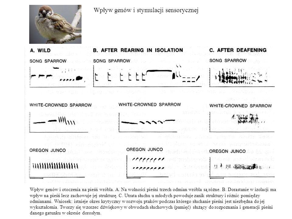 Wpływ genów i stymulacji sensorycznej Wpływ genów i otoczenia na pieśń wróbla. A. Na wolności pieśni trzech odmian wróbla są różne. B. Dorastanie w iz