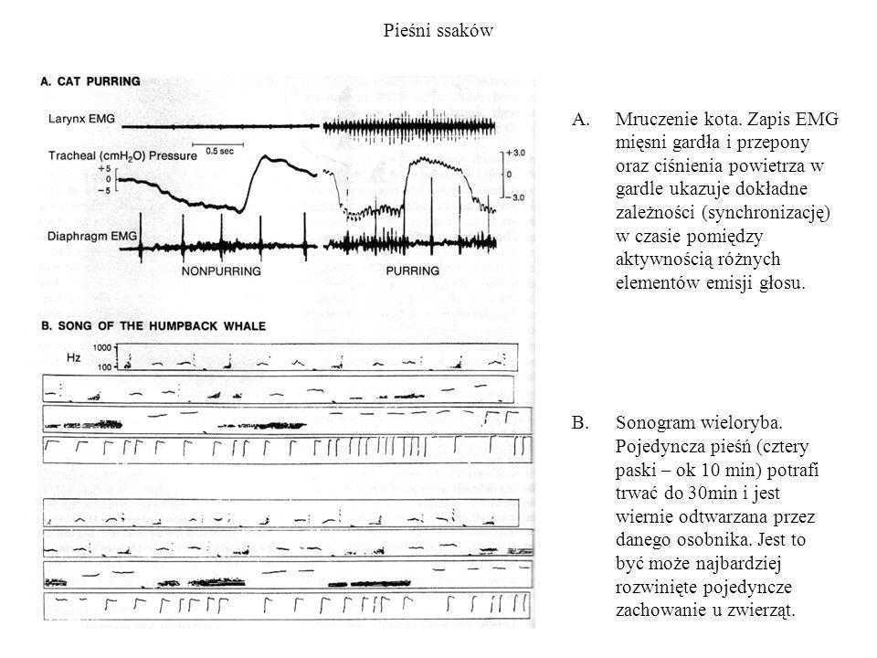 Pieśni ssaków A.Mruczenie kota. Zapis EMG mięsni gardła i przepony oraz ciśnienia powietrza w gardle ukazuje dokładne zależności (synchronizację) w cz