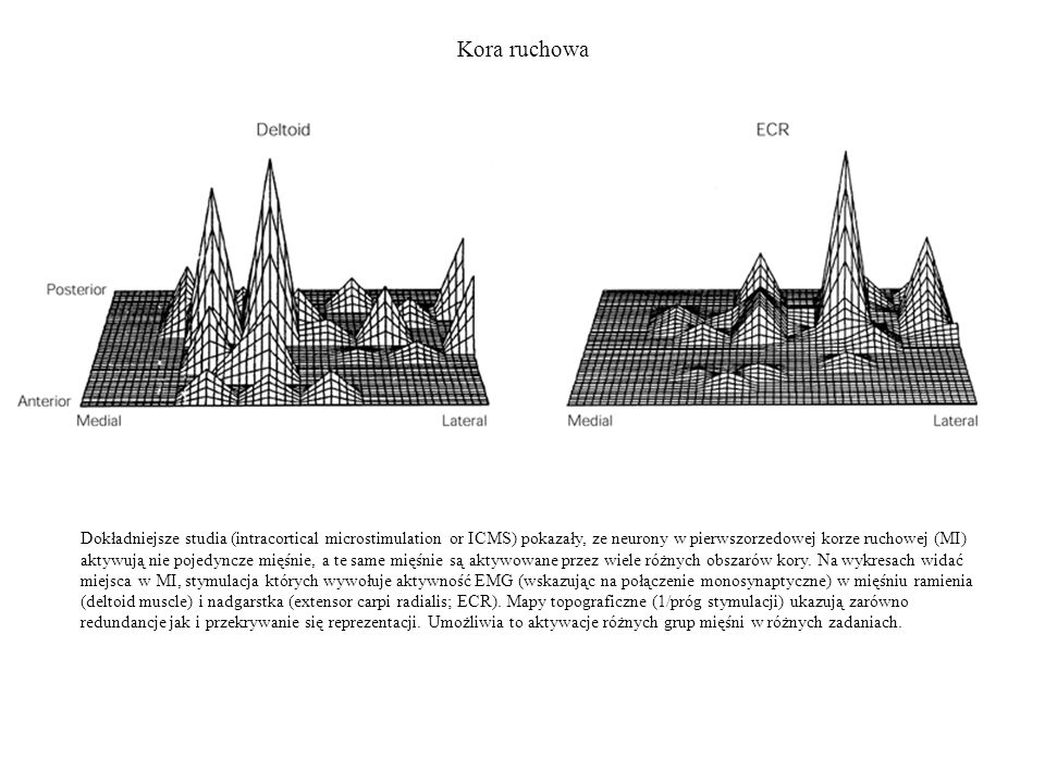 Kora ruchowa Dokładniejsze studia (intracortical microstimulation or ICMS) pokazały, ze neurony w pierwszorzedowej korze ruchowej (MI) aktywują nie po