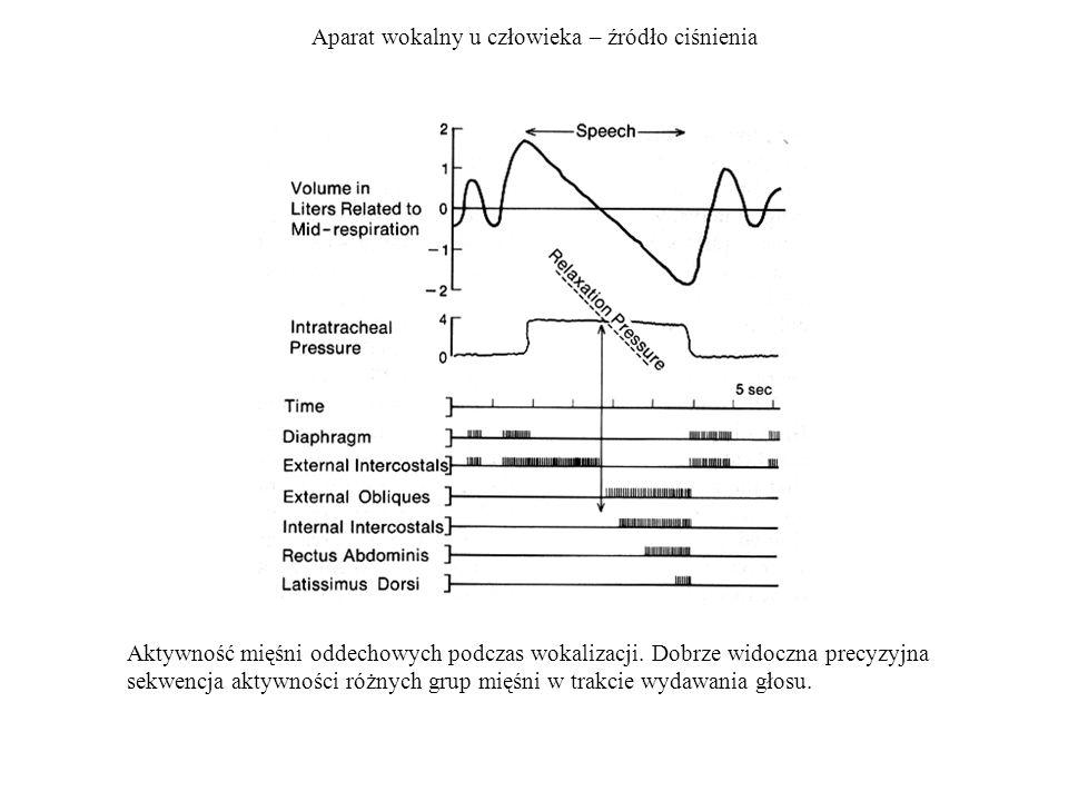 Aparat wokalny u człowieka – źródło ciśnienia Aktywność mięśni oddechowych podczas wokalizacji. Dobrze widoczna precyzyjna sekwencja aktywności różnyc