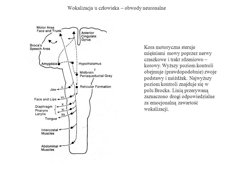 Wokalizacja u człowieka – obwody neuronalne Kora motoryczna steruje mięśniami mowy poprzez nerwy czaszkowe i trakt rdzeniowo – korowy. Wyższy poziom k