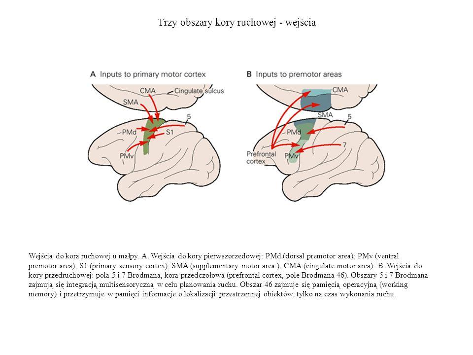 Trzy obszary kory ruchowej - wejścia Kora przedruchowa i pierwszorzedowa kora ruchowa dostają również wejścia ze zwojów podstawy i móżdżku poprzez wzgórze.