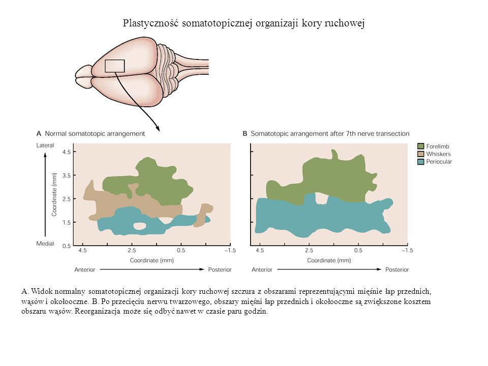 Plastyczność somatotopicznej organizaji kory ruchowej A. Widok normalny somatotopicznej organizacji kory ruchowej szczura z obszarami reprezentującymi