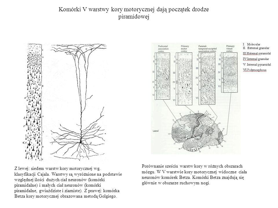 Komórki V warstwy kory motorycznej dają początek drodze piramidowej Z lewej: siedem warstw kory motorycznej wg. klasyfikacji Cajala. Warstwy są wyróżn