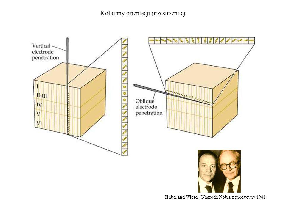 Hubel and Wiesel. Nagroda Nobla z medycyny 1981 Kolumny orientacji przestrzennej