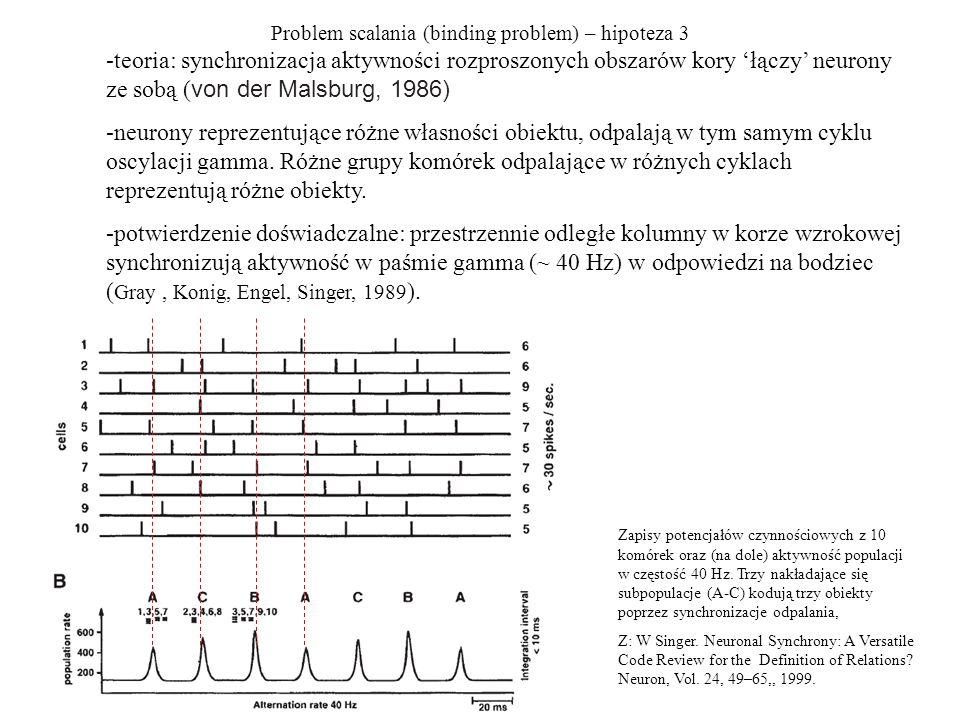 Problem scalania (binding problem) – hipoteza 3 -teoria: synchronizacja aktywności rozproszonych obszarów kory łączy neurony ze sobą ( von der Malsburg, 1986) -neurony reprezentujące różne własności obiektu, odpalają w tym samym cyklu oscylacji gamma.