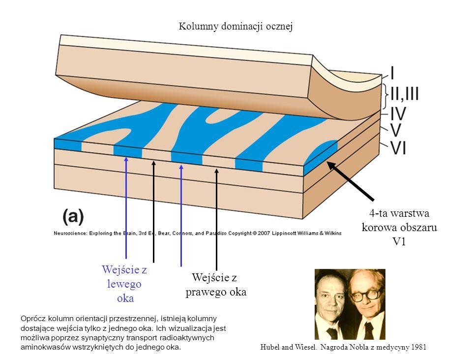 4-ta warstwa korowa obszaru V1 Wejście z lewego oka Wejście z prawego oka Hubel and Wiesel.