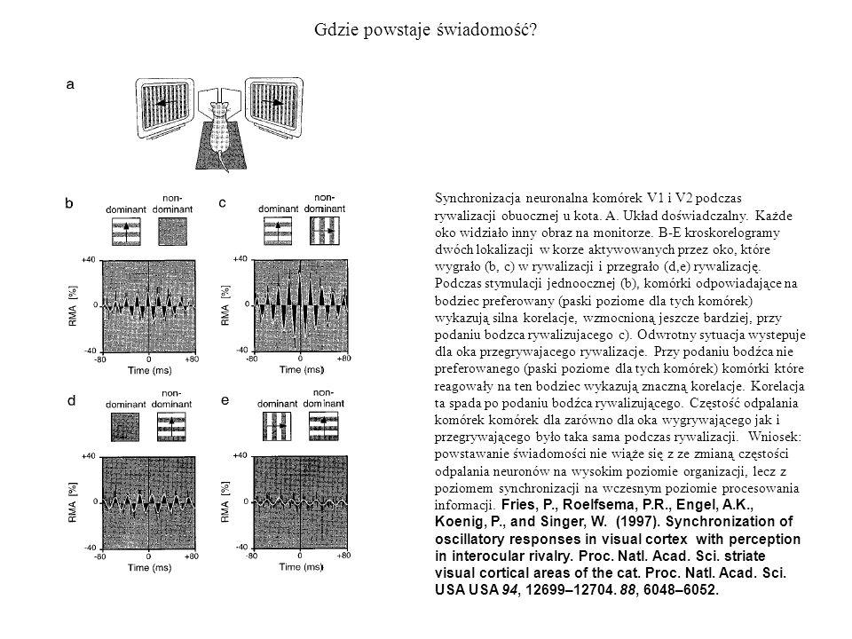 Gdzie powstaje świadomość? Synchronizacja neuronalna komórek V1 i V2 podczas rywalizacji obuocznej u kota. A. Układ doświadczalny. Każde oko widziało
