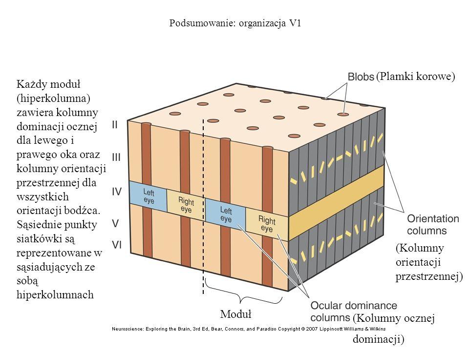Podsumowanie: organizacja V1 Każdy moduł (hiperkolumna) zawiera kolumny dominacji ocznej dla lewego i prawego oka oraz kolumny orientacji przestrzenne