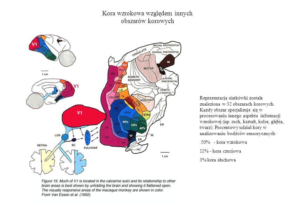 Kora wzrokowa względem innych obszarów korowych Reprezentacja siatkówki została znaleziona w 32 obszarach korowych.