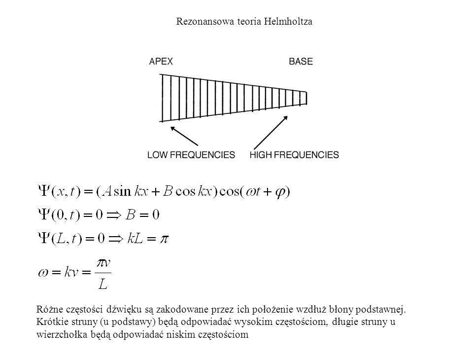 Rezonansowa teoria Helmholtza Różne częstości dźwięku są zakodowane przez ich położenie wzdłuż błony podstawnej. Krótkie struny (u podstawy) będą odpo