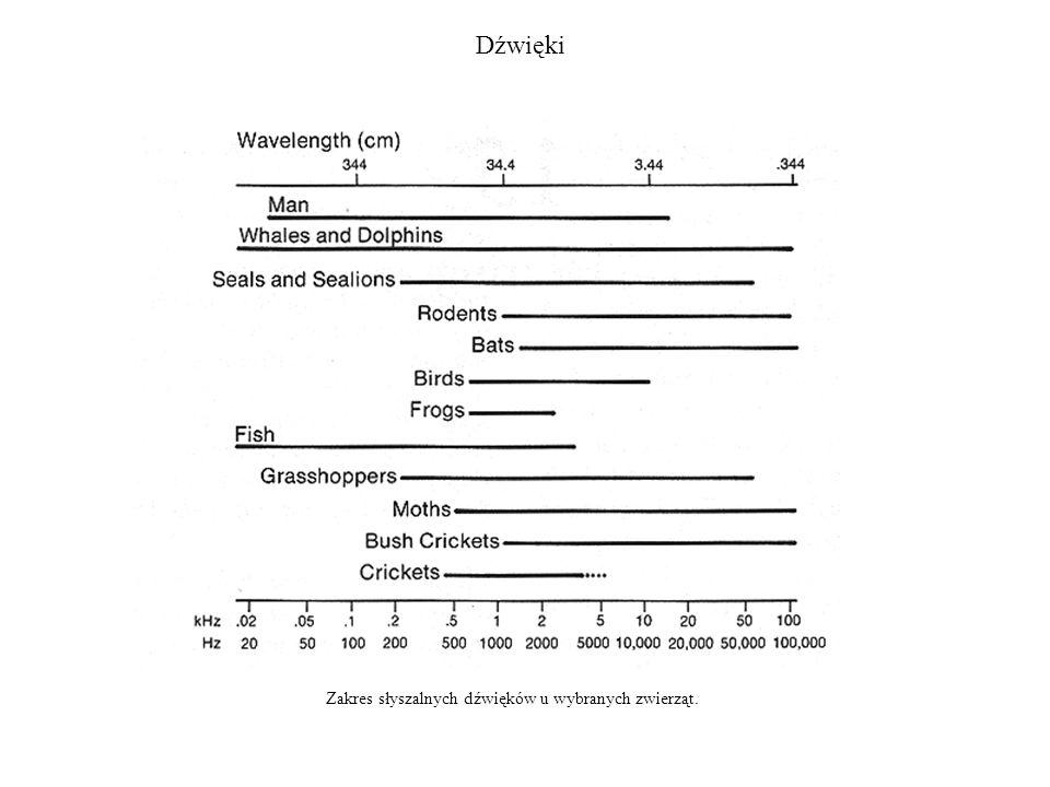Ewolucja narządów słuchu 1.Zmysł słuchu i równowagi wywodzi się z organu linii bocznej.