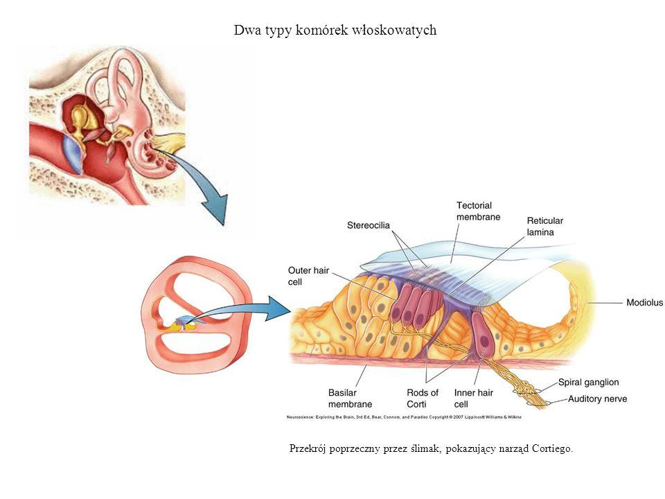 Dwa typy komórek włoskowatych Przekrój poprzeczny przez ślimak, pokazujący narząd Cortiego.
