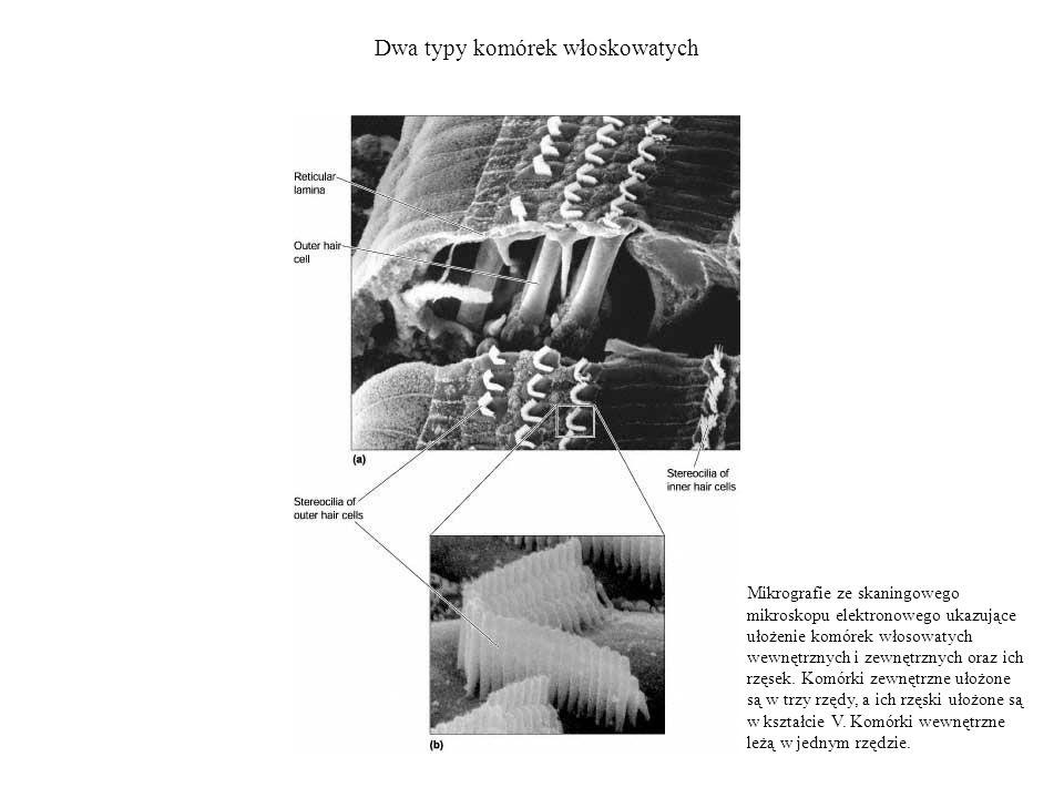 Dwa typy komórek włoskowatych Mikrografie ze skaningowego mikroskopu elektronowego ukazujące ułożenie komórek włosowatych wewnętrznych i zewnętrznych