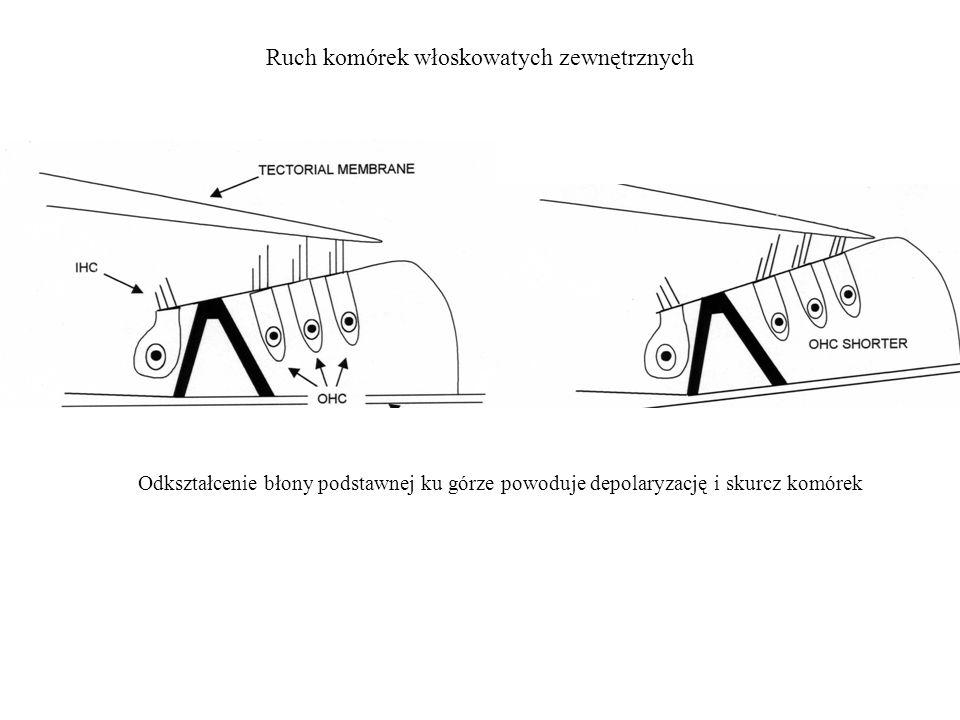 Odkształcenie błony podstawnej ku górze powoduje depolaryzację i skurcz komórek Ruch komórek włoskowatych zewnętrznych