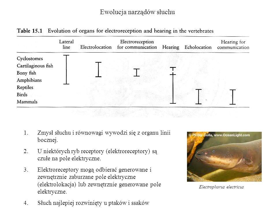 Ewolucja narządów słuchu 1.Zmysł słuchu i równowagi wywodzi się z organu linii bocznej. 2.U niektórych ryb receptory (elektroreceptory) są czułe na po