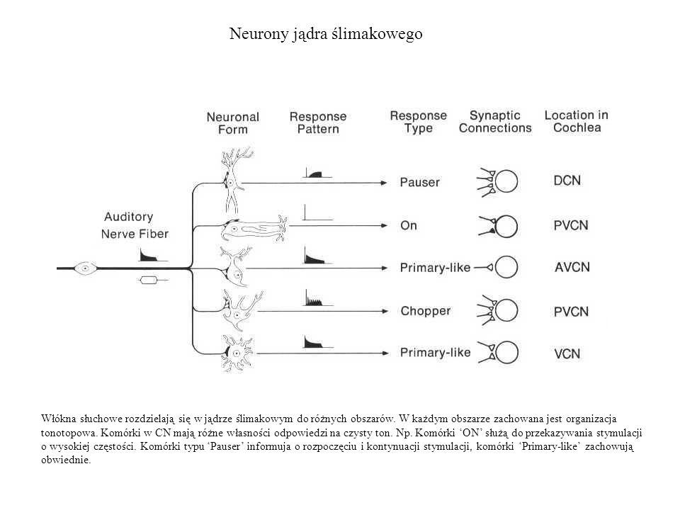 Neurony jądra ślimakowego Włókna słuchowe rozdzielają się w jądrze ślimakowym do różnych obszarów. W każdym obszarze zachowana jest organizacja tonoto
