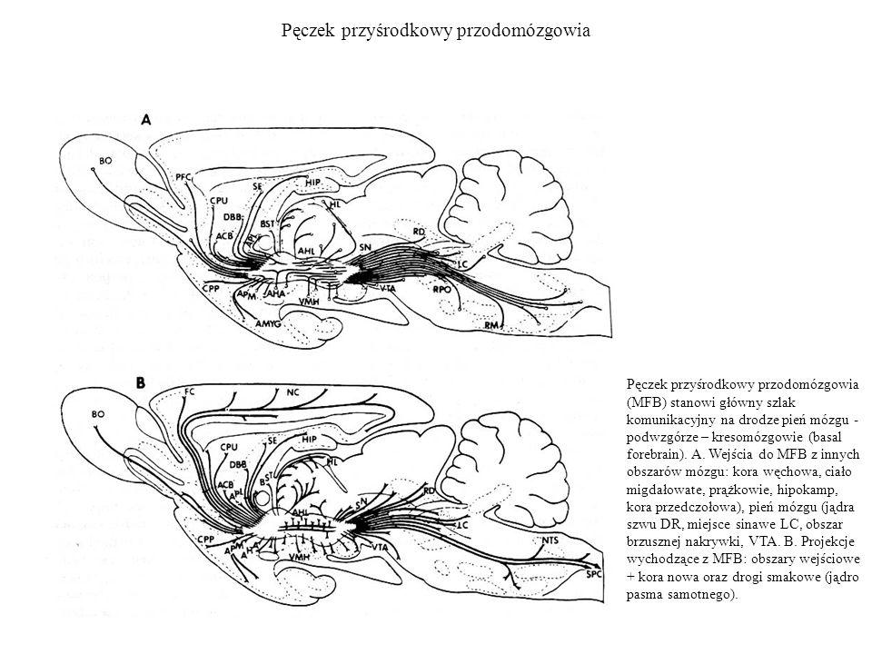 Pęczek przyśrodkowy przodomózgowia Pęczek przyśrodkowy przodomózgowia (MFB) stanowi główny szlak komunikacyjny na drodze pień mózgu - podwzgórze – kre