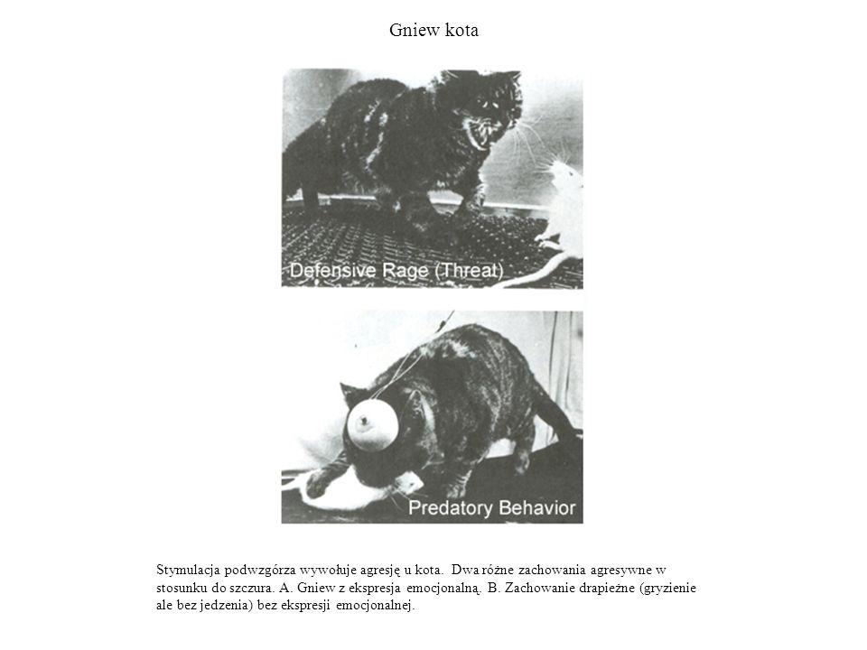 Gniew kota Stymulacja podwzgórza wywołuje agresję u kota. Dwa różne zachowania agresywne w stosunku do szczura. A. Gniew z ekspresja emocjonalną. B. Z