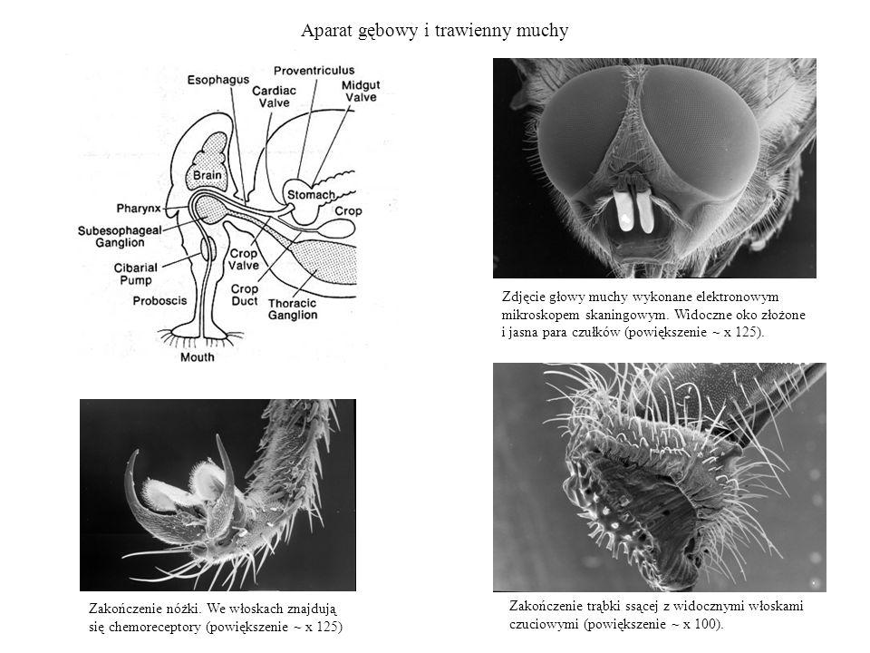 Aparat gębowy i trawienny muchy Zakończenie nóżki. We włoskach znajdują się chemoreceptory (powiększenie ~ x 125) Zdjęcie głowy muchy wykonane elektro