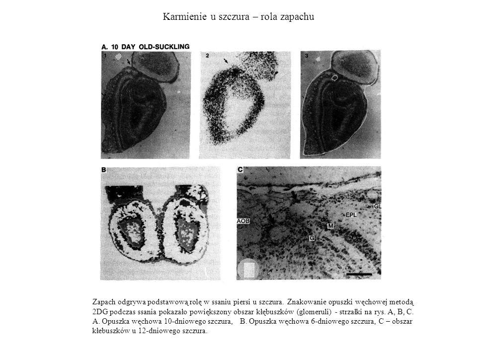 Karmienie u szczura – rola zapachu Zapach odgrywa podstawową rolę w ssaniu piersi u szczura. Znakowanie opuszki węchowej metodą 2DG podczas ssania pok