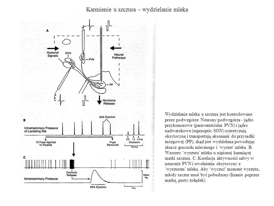 Karmienie u szczura – wydzielanie mleka Wydzielanie mleka u szczura jest kontrolowane przez podwzgórze. Neurony podwzgórza - jądro przykomorowe (parav