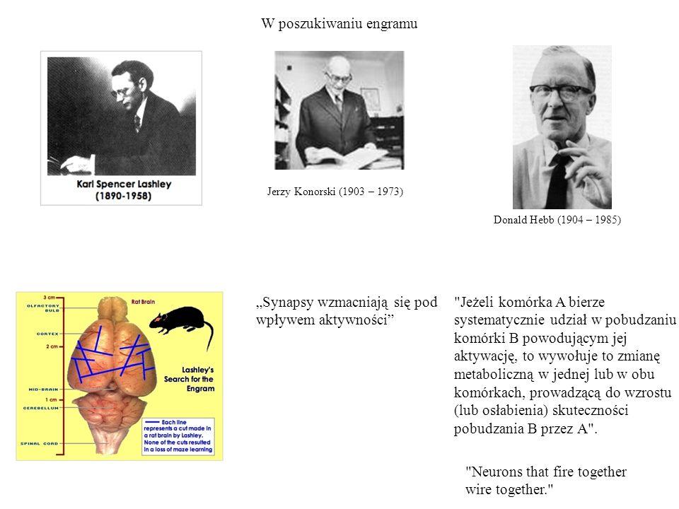 W poszukiwaniu engramu Jerzy Konorski (1903 – 1973) Synapsy wzmacniają się pod wpływem aktywności Neurons that fire together wire together. Donald Hebb (1904 – 1985) Jeżeli komórka A bierze systematycznie udział w pobudzaniu komórki B powodującym jej aktywację, to wywołuje to zmianę metaboliczną w jednej lub w obu komórkach, prowadzącą do wzrostu (lub osłabienia) skuteczności pobudzania B przez A .