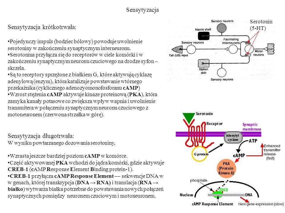 Sensytyzacja Sensytyzacja krótkotrwała: Pojedynczy impuls (bodziec bólowy) powoduje uwolnienie serotoniny w zakończeniu synaptycznym interneuronu.