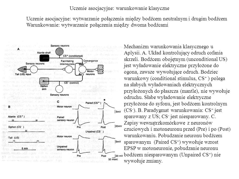 Uczenie asocjacyjne: warunkowanie klasyczne Mechanizm warunkowania klasycznego u Aplysii.