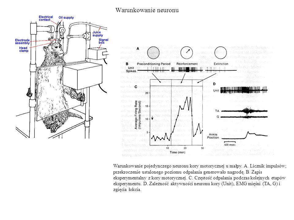Warunkowanie neuronu Warunkowanie pojedynczego neuronu kory motorycznej u małpy.