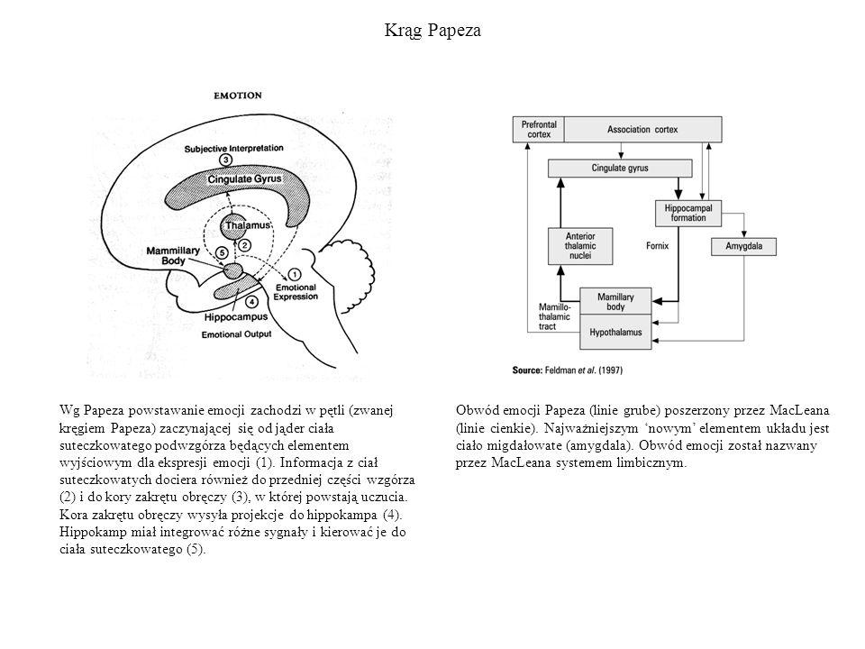 Kora zakrętu obręczy Kora zakrętu obręczy ma bardzo rozległe połączenia z innymi obszarami mózgu.