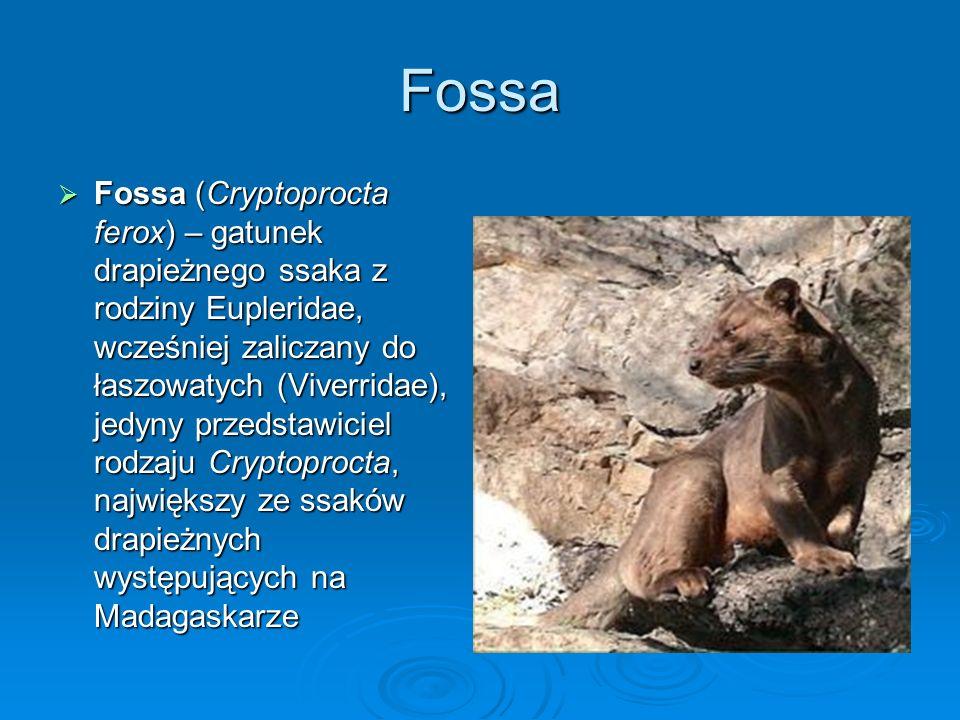 Fossa Fossa (Cryptoprocta ferox) – gatunek drapieżnego ssaka z rodziny Eupleridae, wcześniej zaliczany do łaszowatych (Viverridae), jedyny przedstawic