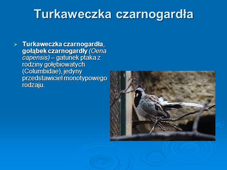 Turkaweczka czarnogardła Turkaweczka czarnogardła, gołąbek czarnogardły (Oena capensis) – gatunek ptaka z rodziny gołębiowatych (Columbidae), jedyny p