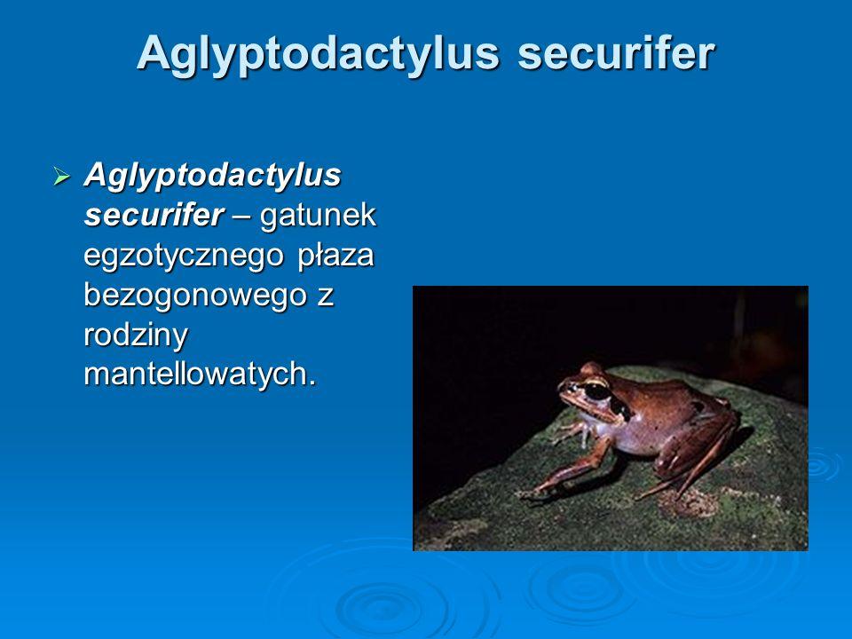 Aglyptodactylus securifer Aglyptodactylus securifer – gatunek egzotycznego płaza bezogonowego z rodziny mantellowatych. Aglyptodactylus securifer – ga