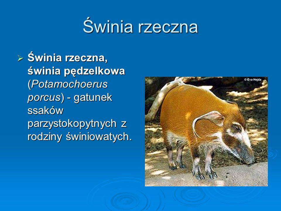 Świnia rzeczna Świnia rzeczna, świnia pędzelkowa (Potamochoerus porcus) - gatunek ssaków parzystokopytnych z rodziny świniowatych. Świnia rzeczna, świ