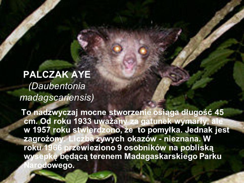 PALCZAK AYE (Daubentonia madagscariensis) To nadzwyczaj mocne stworzenie osiąga długość 45 cm. Od roku 1933 uważany za gatunek wymarły, ale w 1957 rok
